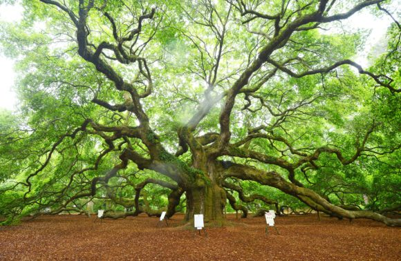 The Angel Oak Tree - Charleston SC